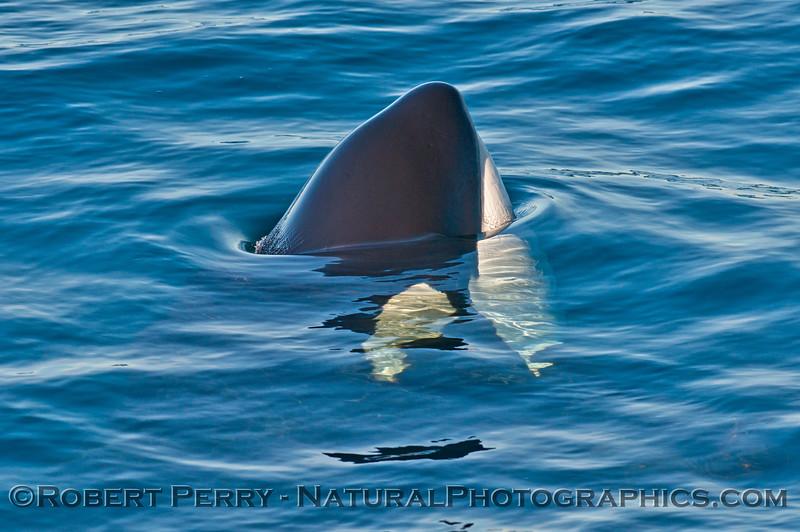 Orcinus orca spyhop 2013 12-30 SB Channel-006