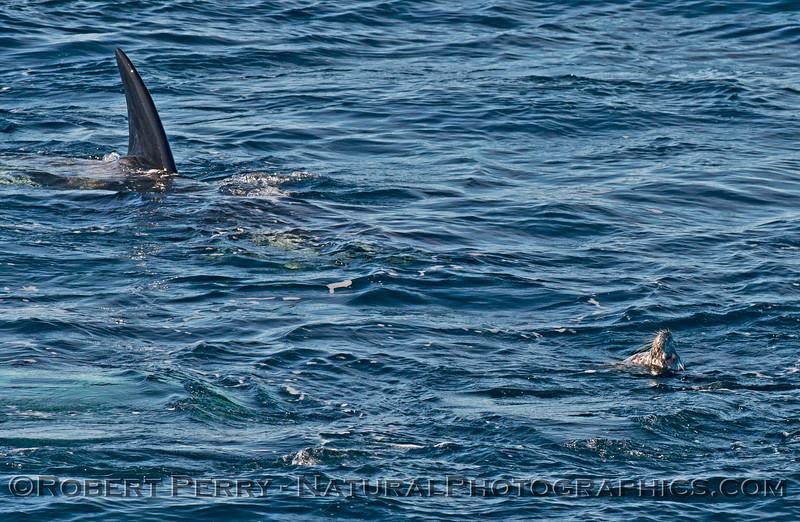 Orcinus orca & Phoca vitulina 2013 12-30 SB Channel-1078