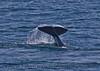 Orcinus orca tail flukes 2016 04-19 Monterey Bay-151