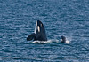 Orcinus orca spy hop 2016 04-19 Monterey Bay-003