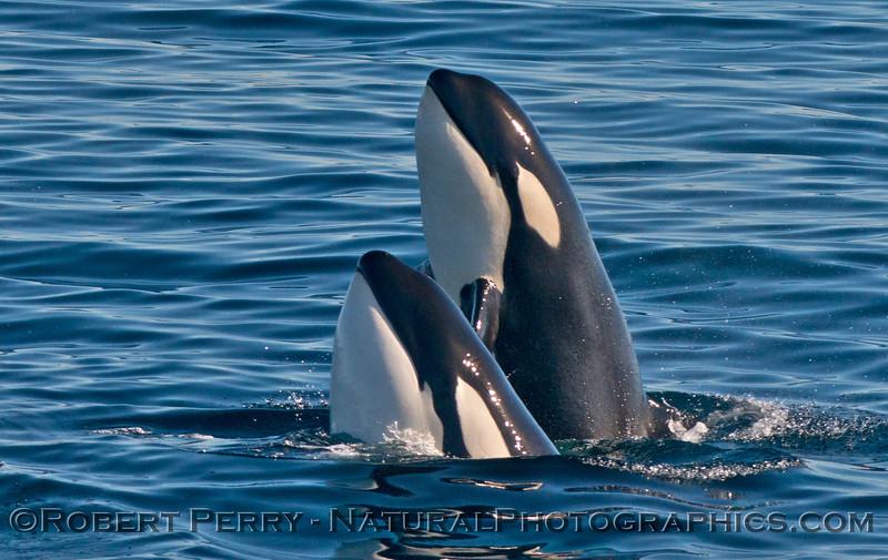 Orcinus orca DOUBLE spyhop 2013 12-30 SB Channel-b-0002