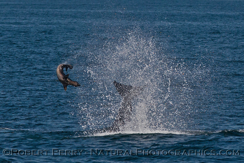 Orcinus orca feeding throwing Mirounga angustirostris 2016 04-19 Monterey Bay-002