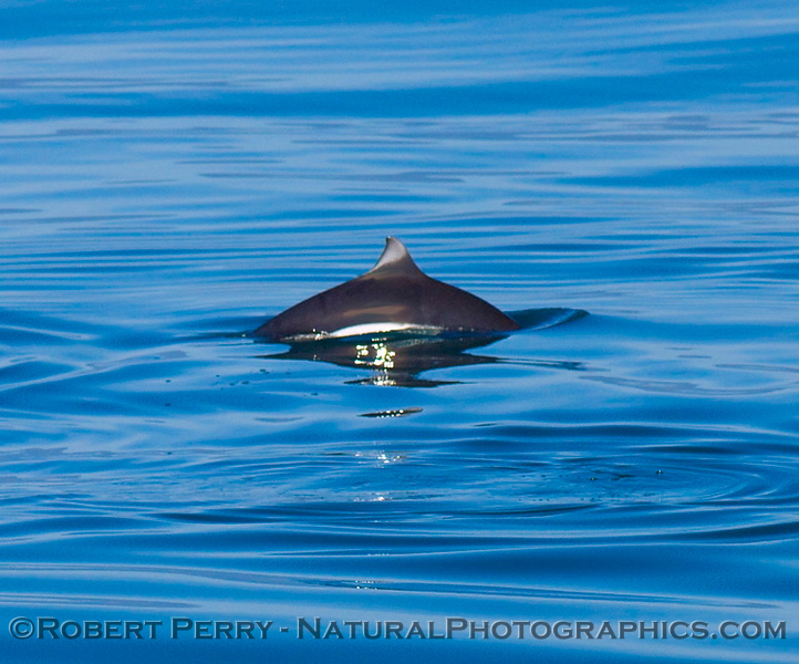Dall's Porpoise dorsal fin on a blue water, glassy day.