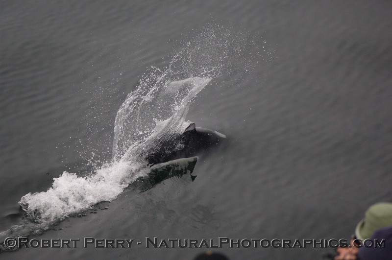 "Dall's Porpoise leaves a characteristic ""rooster tail"" wake as whale watchers get a close look."