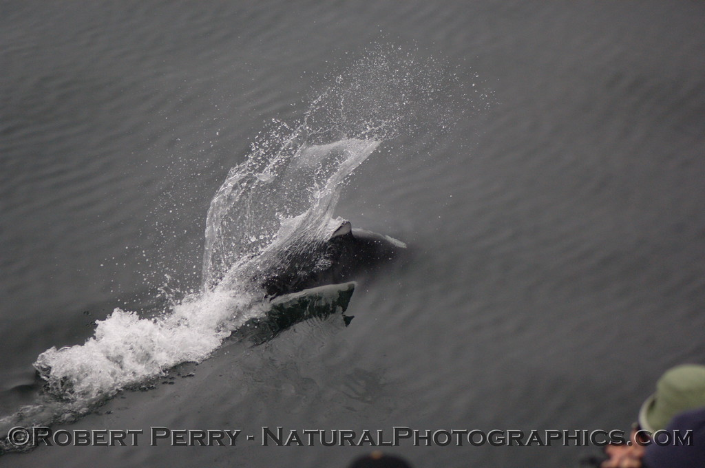 """Dall's Porpoise leaves a characteristic """"rooster tail"""" wake as whale watchers get a close look."""