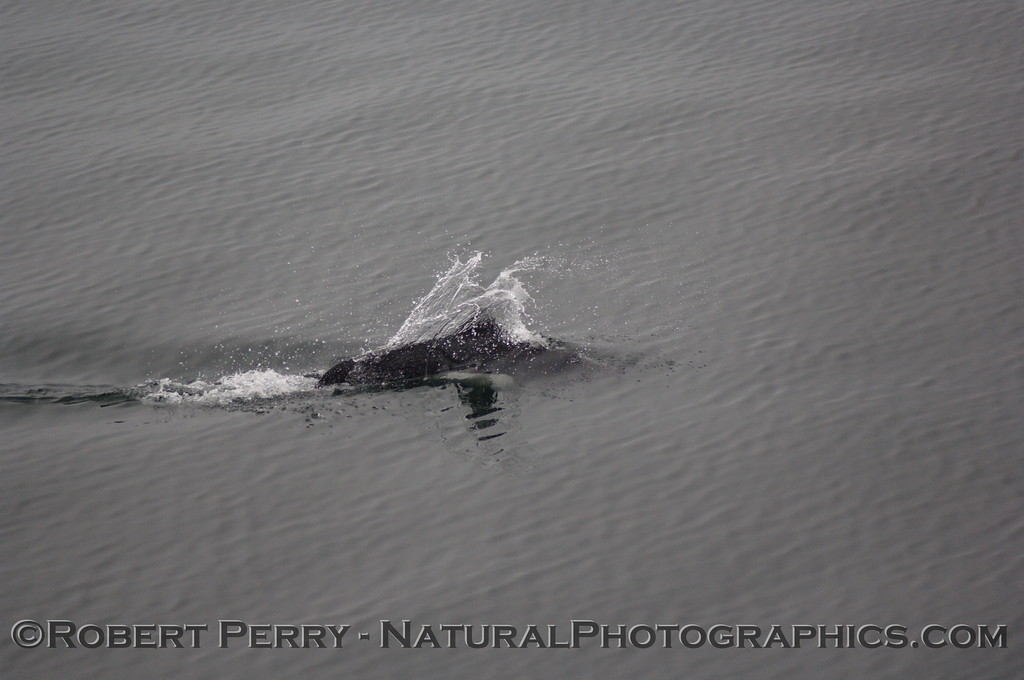 Dall's Porpoise rooster tail.