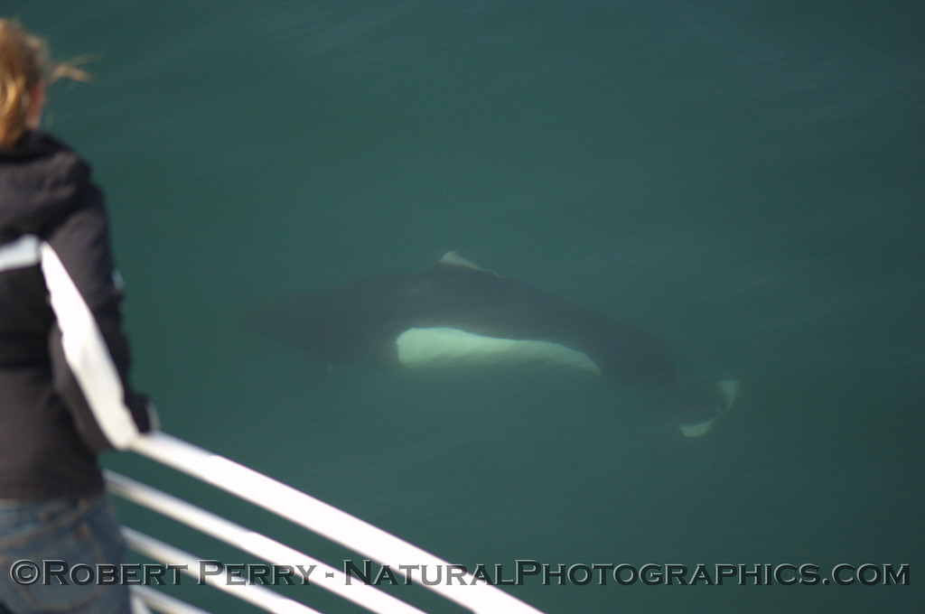 Passenger on the Condor Express gets a close look at a Dall's Porpoise riding the bow.