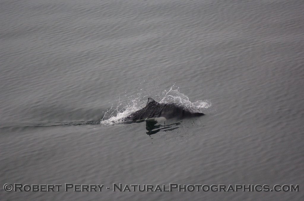 Dall's Porpoise zooming by.