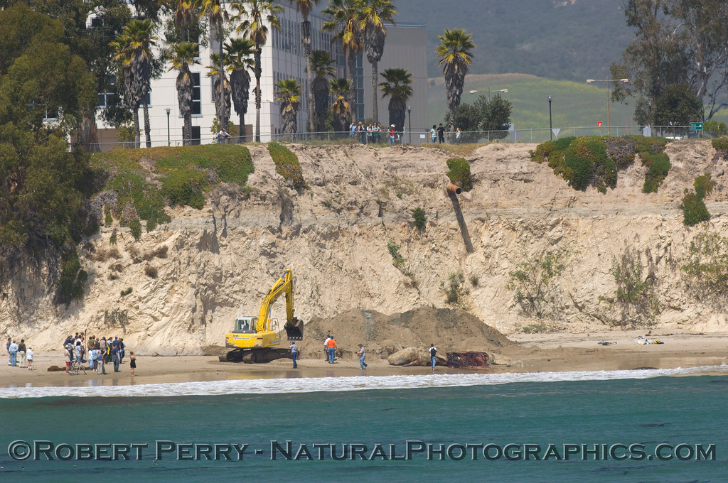 Sperm whale carcass (seen just right of center) is about to be buried in the sand.  The University of California at Santa Barbara can be seen on the bluff.