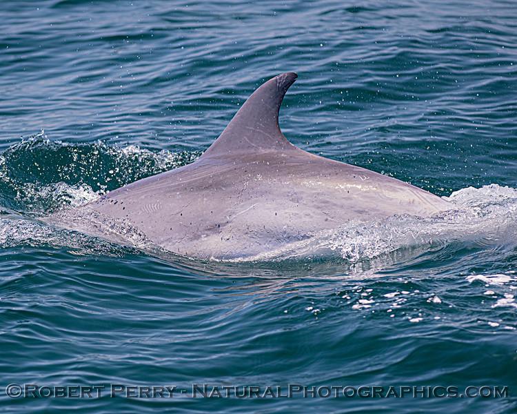 Tursiops truncatus offshore DORSAL FIN 2020 06-15 SB Channel--068
