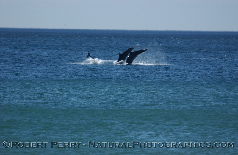 Part 2 of a sequence of images of leaping Bottlenose Dolphins just outside the surfline at Zuma Beach.