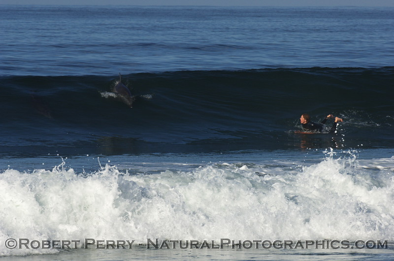 Surfer attempts to take off on wave being ridden by a Bottlenose Dolphin.