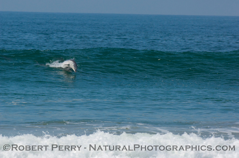 Bottlenose dolphin chase sequence enters the waves.
