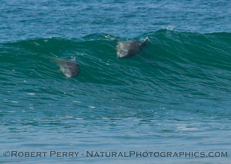 Bottlenose dolphin chase sequence enters the waves.  Are we having fun yet?