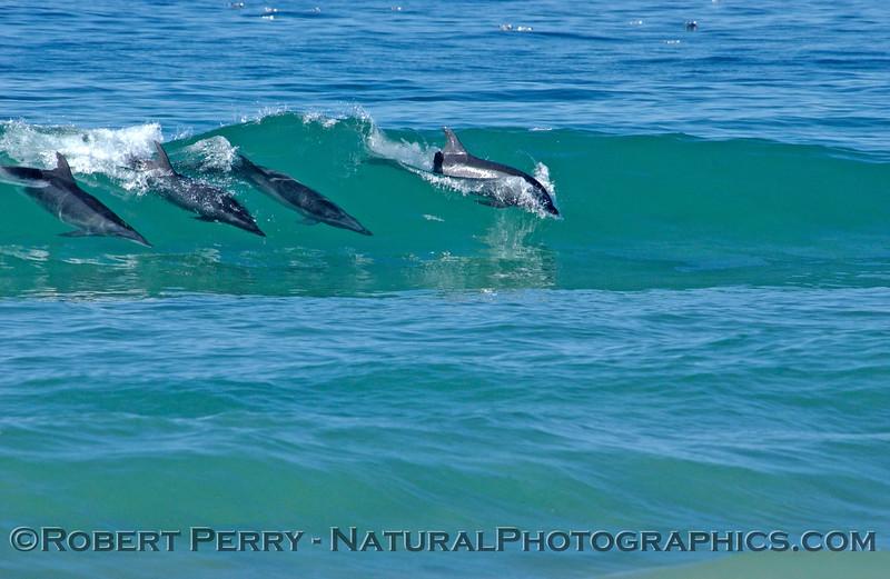 Tursiops 4 surfing clear wave Zuma 2004-02-05-049mod