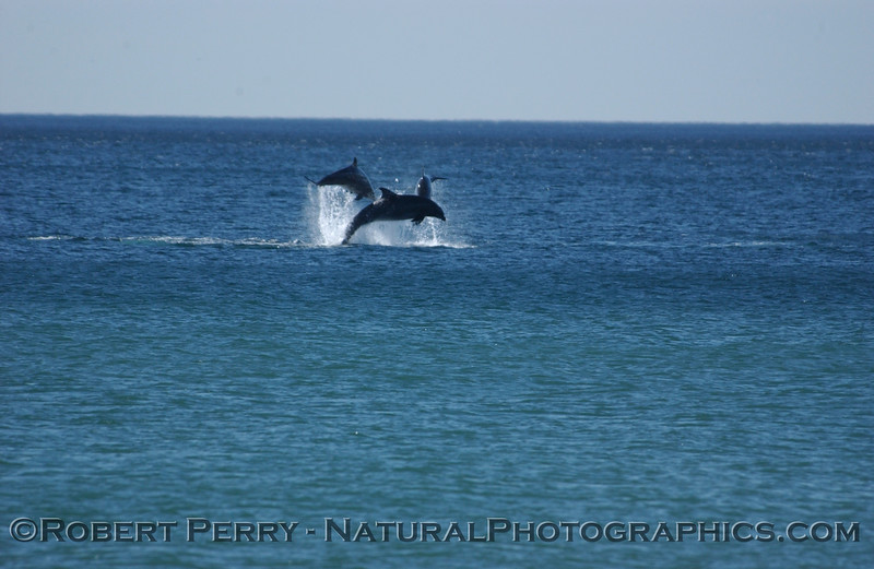Part 5 of a sequence of images of leaping Bottlenose Dolphins just outside the surfline at Zuma Beach.
