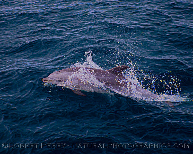 Tursiops truncatus offshore JUV 2020 08-29 All Day SB Channel-b-160