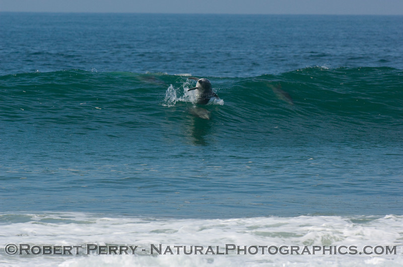 Bottlenose dolphin chase sequence enters the waves...one gets airborn.