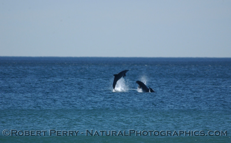 Part 6 of a sequence of images of leaping Bottlenose Dolphins just outside the surfline at Zuma Beach.