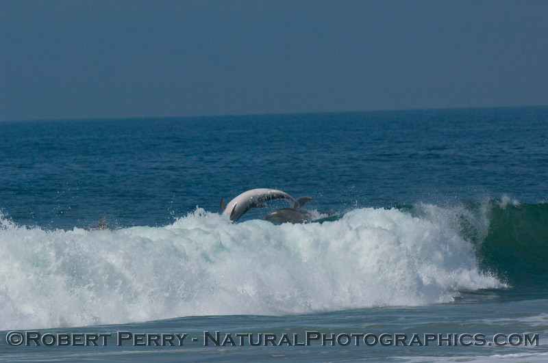 Backdoor surfing exit with full body rotation...part of the bottlenose dolphin chase sequence.  Two dolphins exit the wave in this shot.