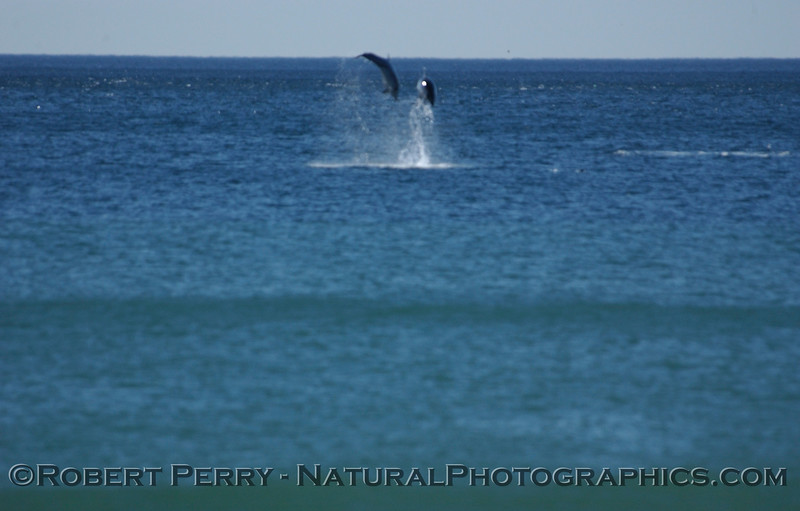 Part 3 of a sequence of images of leaping Bottlenose Dolphins just outside the surfline at Zuma Beach.