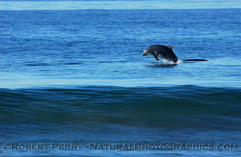 Bottlenose Dolphin leaping near the surf at Zuma Beach.