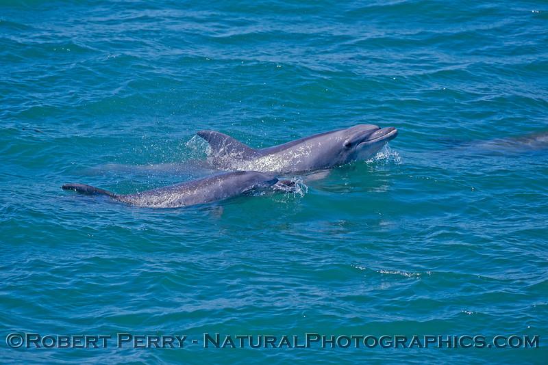 Tursiops truncatus Goleta Bay 2014 04-28 SB Coast-MHS - 074