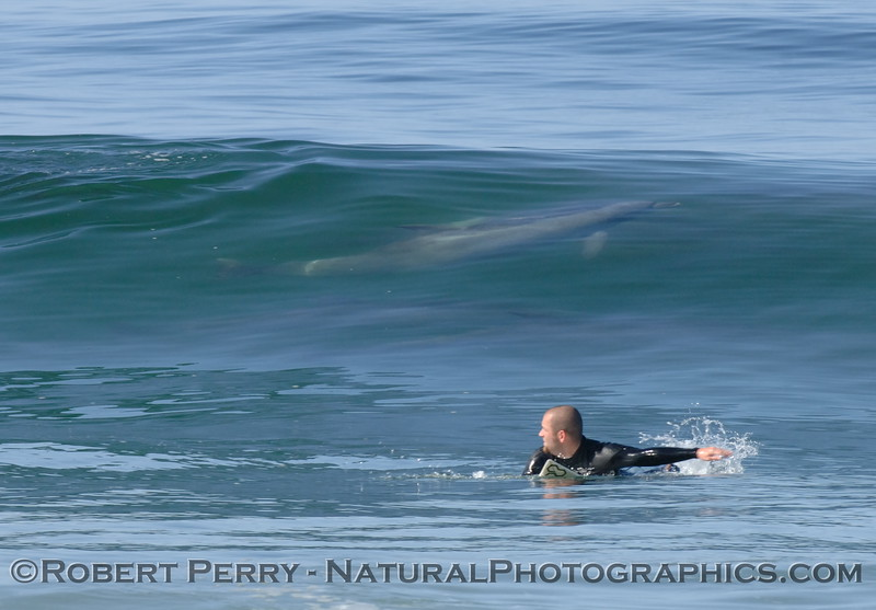 Surfer paddles to catch a wave with Bottlenose Dolpin gliding through it.