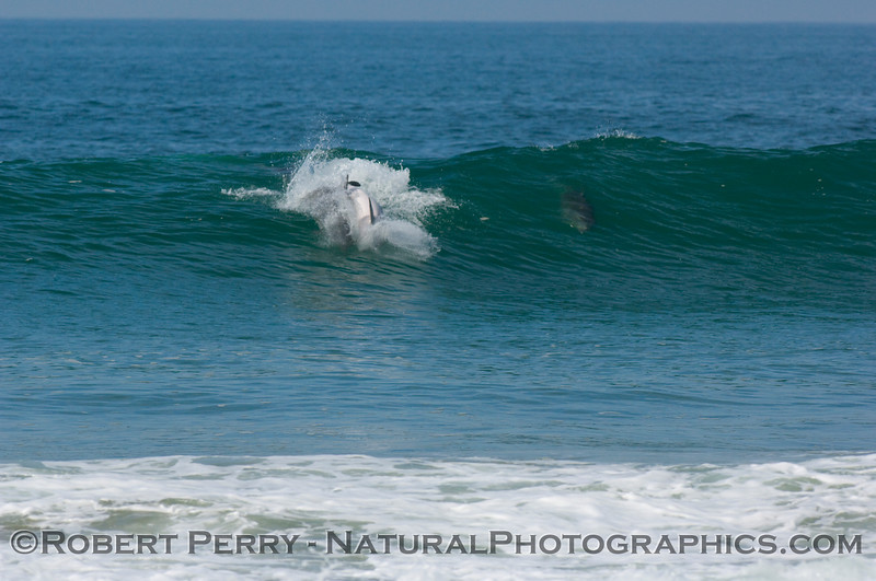 Bottlenose dolphin chase sequence enters the waves...last of body-slam wave photo sequence.