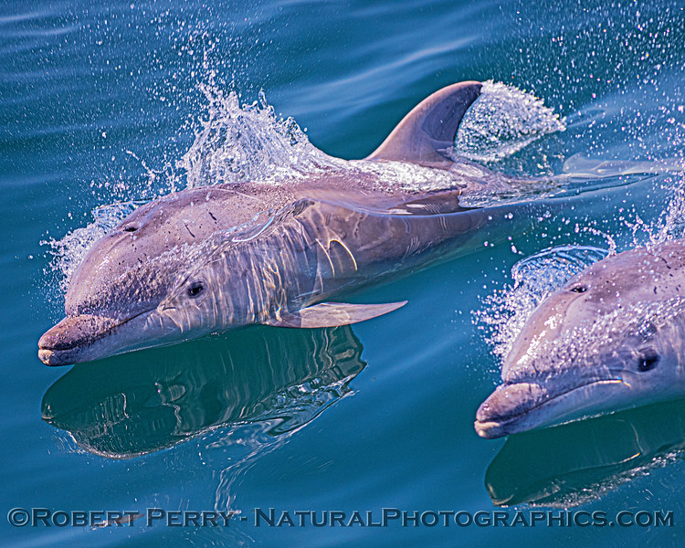Tursiops truncatus offshore CALF 2020 06-15 SB Channel--029