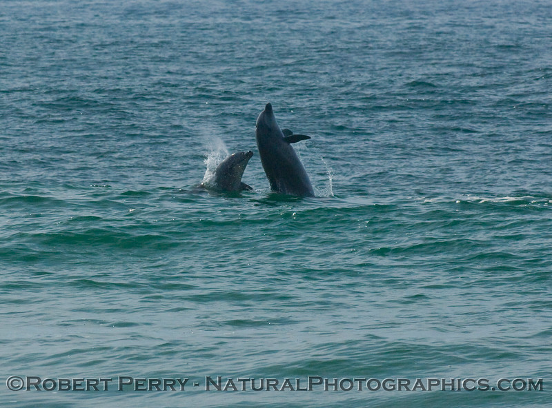 "Image 1 of 3: bottlenose dolphins, just outside the surf, get airborn and ""body slam"" each other, back-to-back."