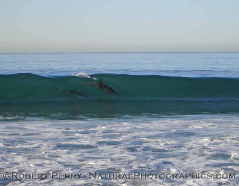 Bottlenose dolphins catch a morning wave.  Zuma Beach.