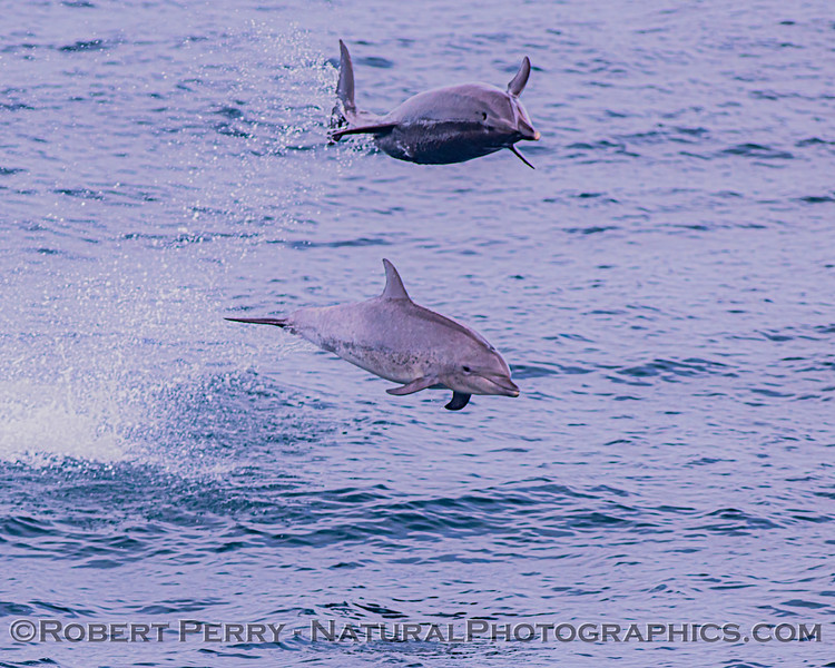Tursiops truncatus offshore 2 leaping 2020 08-29 All Day SB Channel-089