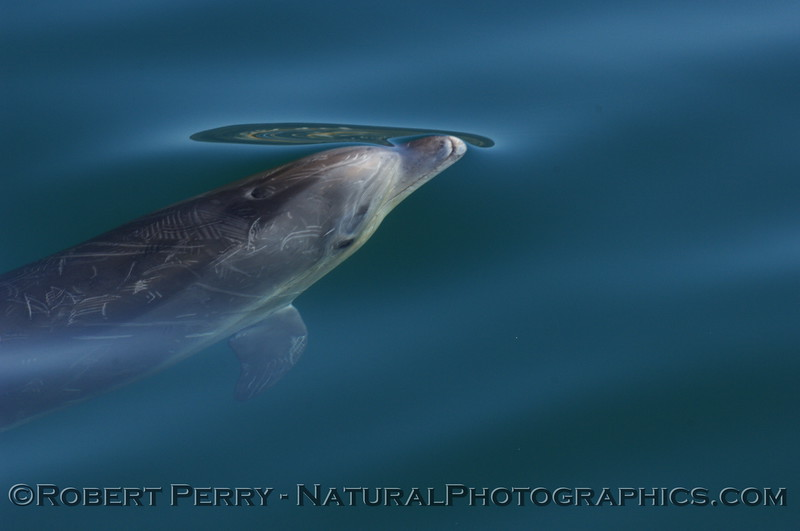 Bottlenose Dolphin head shot....just coming up to the glassy ocean surface.