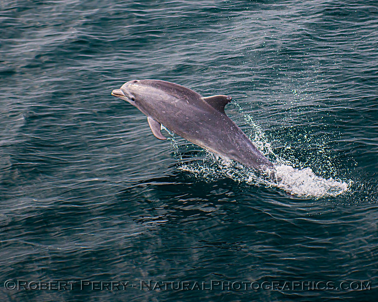 Tursiops truncatus offshore JUV leaping 2020 08-29 All Day SB Channel-b-083