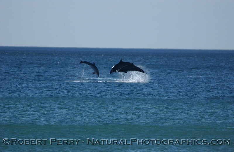 Part 4 of a sequence of images of leaping Bottlenose Dolphins just outside the surfline at Zuma Beach.