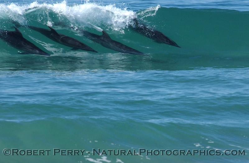 Bottlenose dolphins surfing.