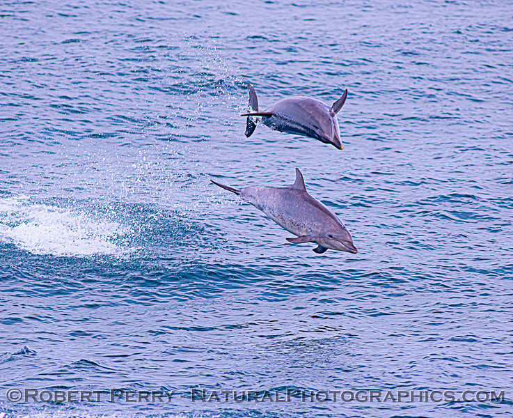 Tursiops truncatus offshore 2 in the air GOOD 2020 08-29 All Day SB Channel-090