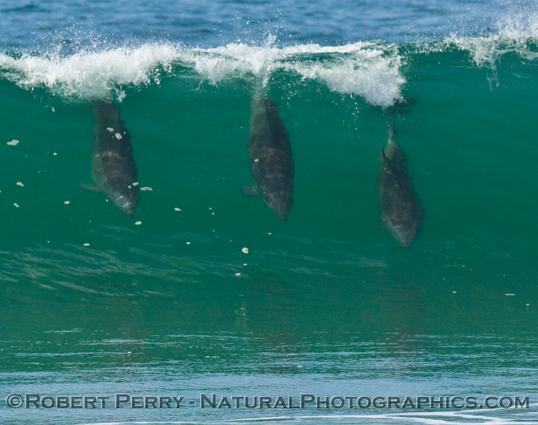 Three bottlenose dolpins surfing a wave.