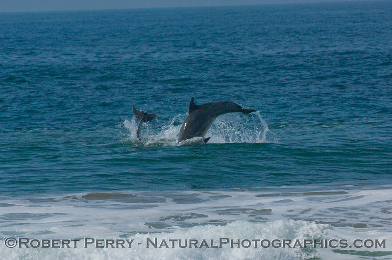 Two bottlenose dolphins in chase mode...body slamming fun.