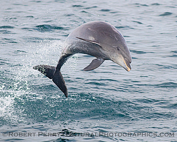Tursiops truncatus offshore leaping 2020 08-29 All Day SB Channel-071