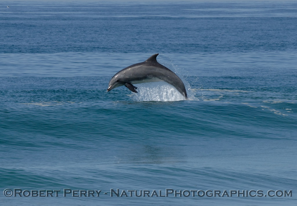 Quintessential Bottlenose Dolphin leap....in the surf - Zuma Beach.