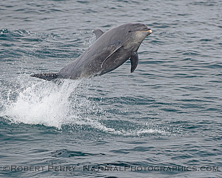 Tursiops truncatus offshore leaping CLOSE 2020 08-29 All Day SB Channel-147
