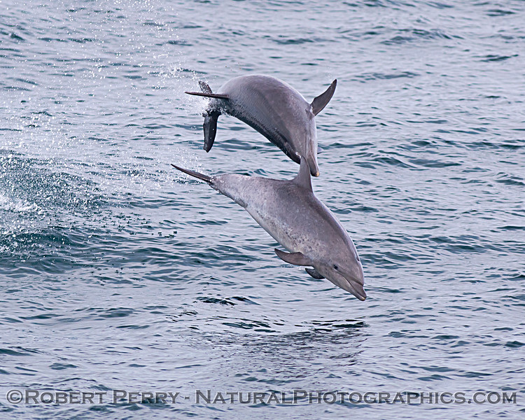 Tursiops truncatus offshore 2 in the air GOOD 2020 08-29 All Day SB Channel-091