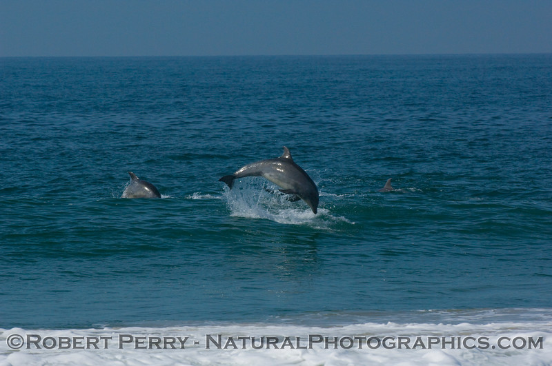 Two bottlenose dolphins in chase mode, part 1 of 2.