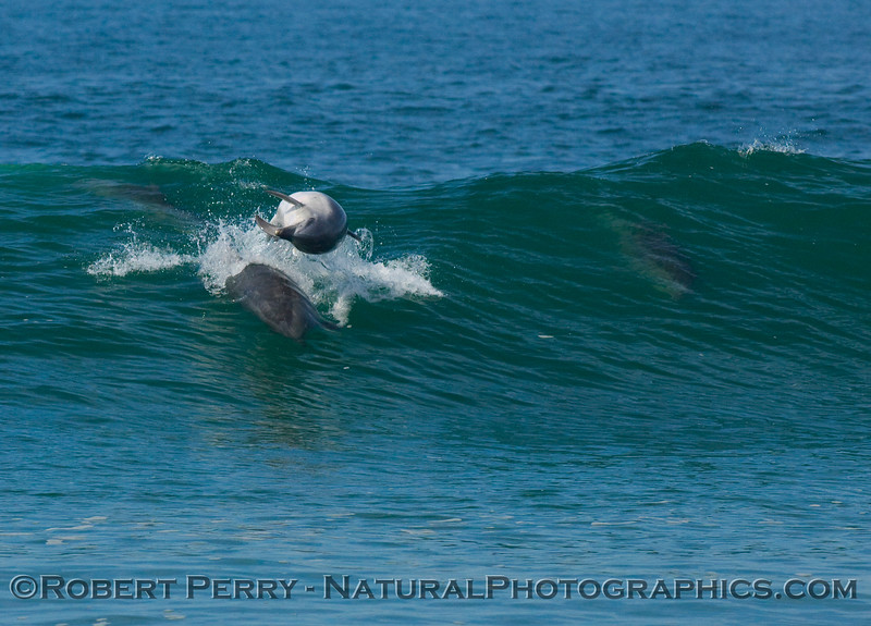 Tursiops surfing, goes airborn to body-slam another dolphin in the wave. A third one is visible to the right. Agro!