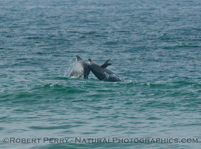 "Image 3 of 3: bottlenose dolphins, just outside the surf, get airborn and ""body slam"" each other, back-to-back."