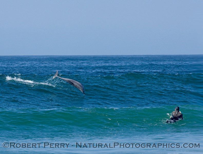 Surfer at Zuma beach gets a surprise when he looks over the top of a wave to see a leaping Bottlenose Dolphin in the surf.