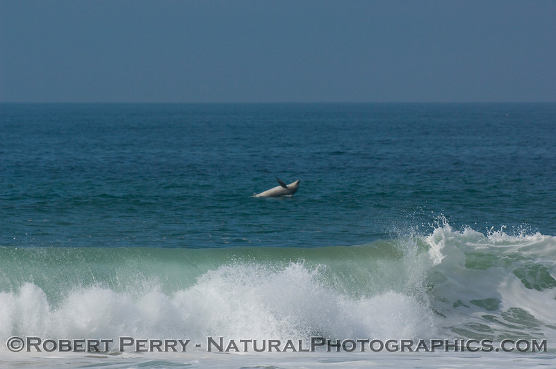 Bottlenose dolphin begins a short leap and splashdown:  photo 2 of 2.