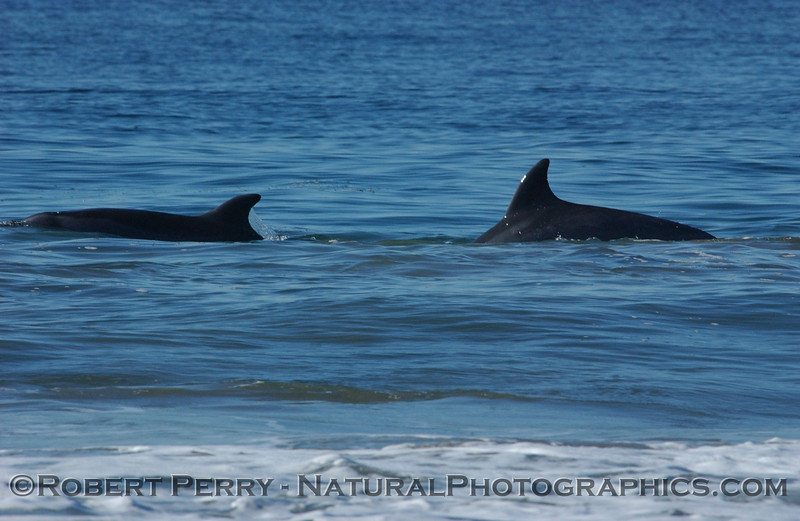 Two Bottlenose Dolphins in very shallow water.